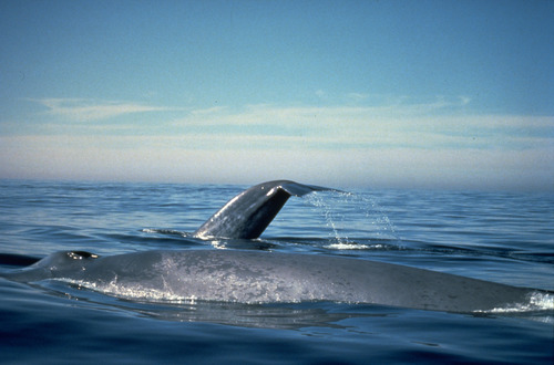 Blue Whales, photo: NOAA